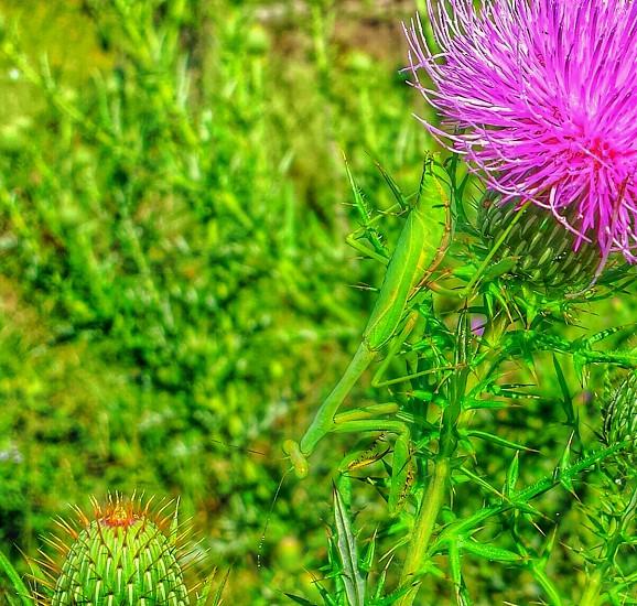 green praying mantis on a purple thistle photo