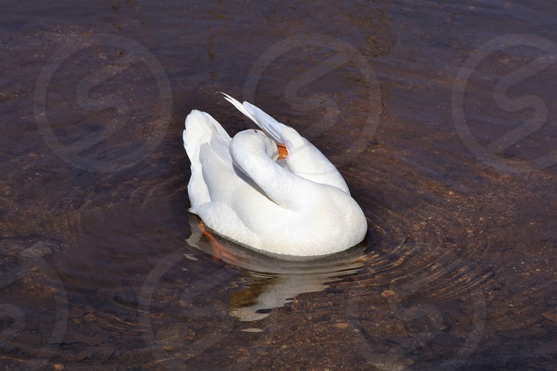 swan.outdoors.love nature. photo