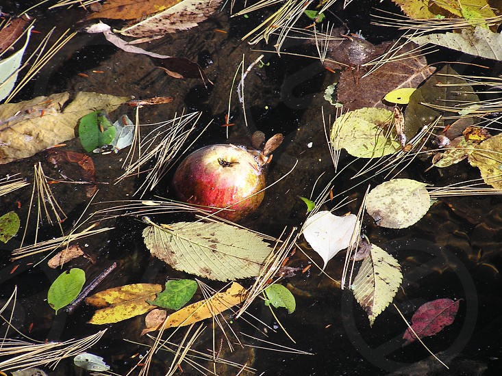 Apple bobbing in a lake in the Fall in Connecticut. photo