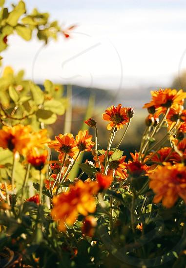 autumn flowers photo