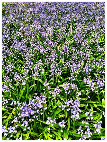 Field of purple flowers  photo