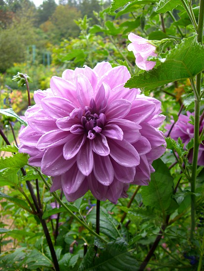 Purple flower from Monet's Garden in Giverny France photo