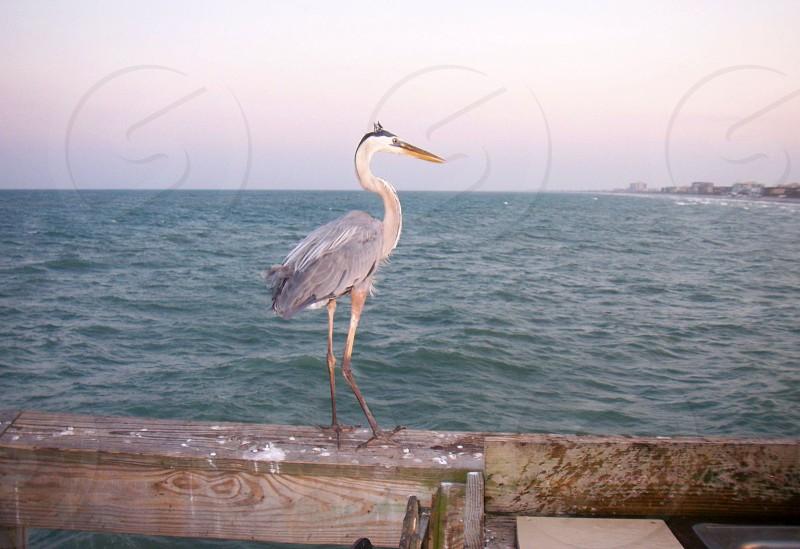 white and gray long neck and beaked sea bird photo
