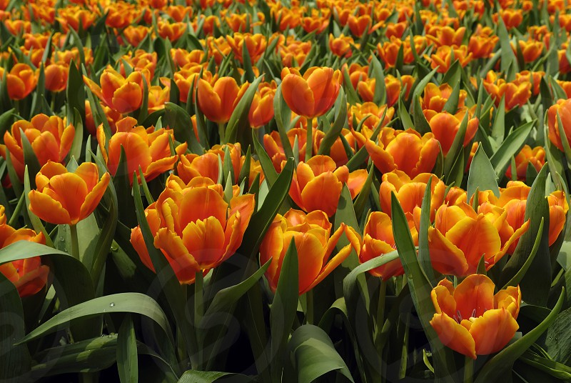 tulipflowerspring photo