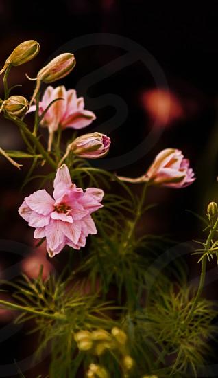 Parsley blooms photo