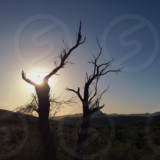 Silhouettes of dead trees in the desert. photo