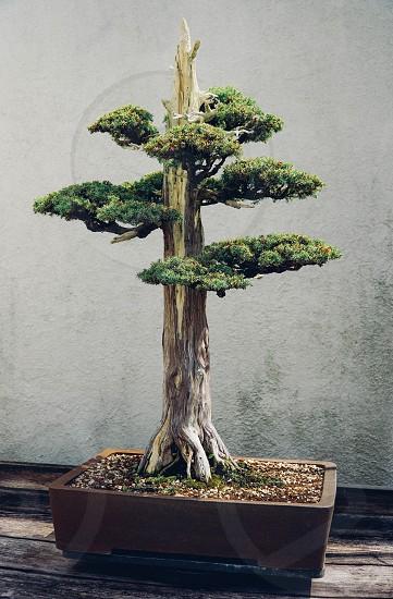 bonsai tree juniper Chinese pot soil garden plant art ancient growth patience display museum trunk branches miniature photo