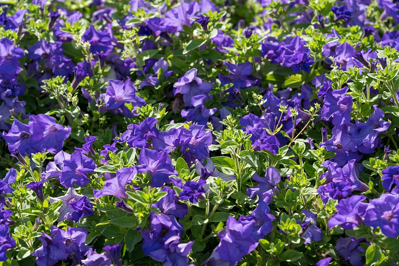 Display of blue Petunias in a flowerbed in East Grinstead photo