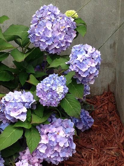 Purple flower/violet dark flower photo