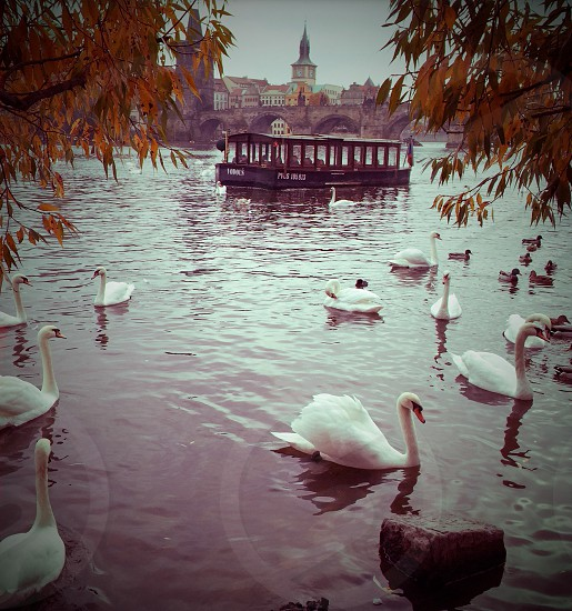 Outdoor day square filter colour monochrome Prague Czech Czech Republic Europe European east eastern travel attraction tourism tourist wanderlust old town river water ripples Charles Bridge swans birds nature View Vista scenic picturesque wading leaves trees boat photo
