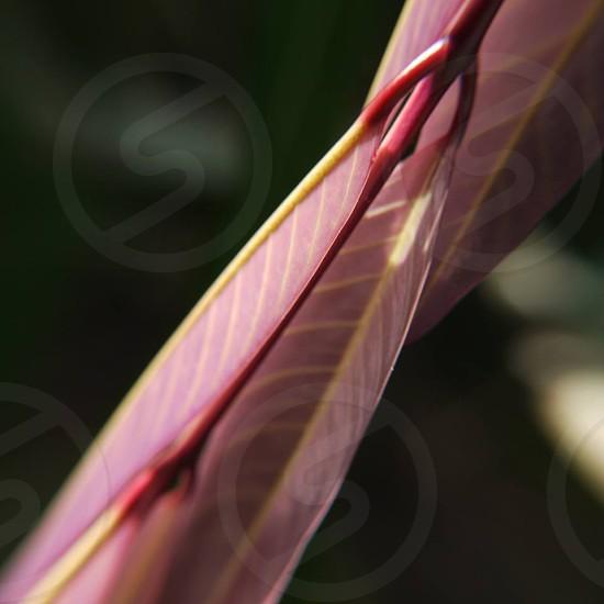 Saraca pink photo