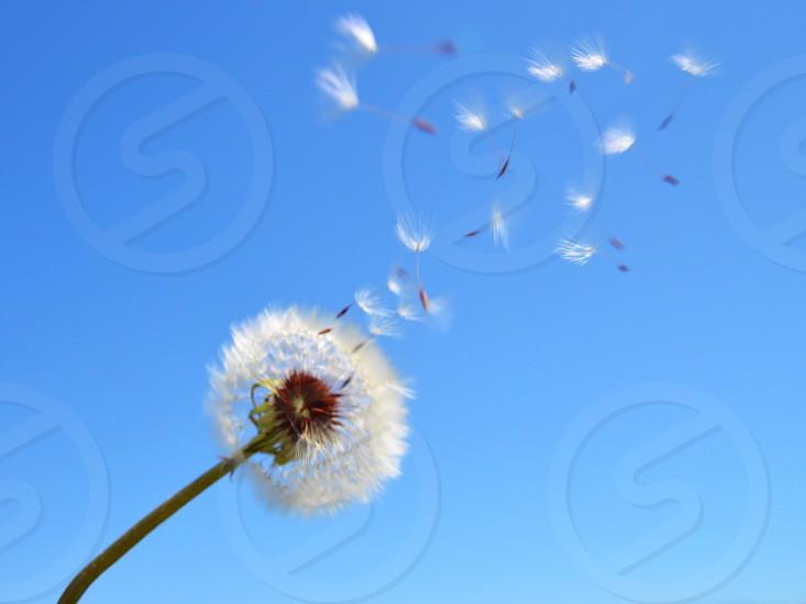 Dandelion nature wishes photo