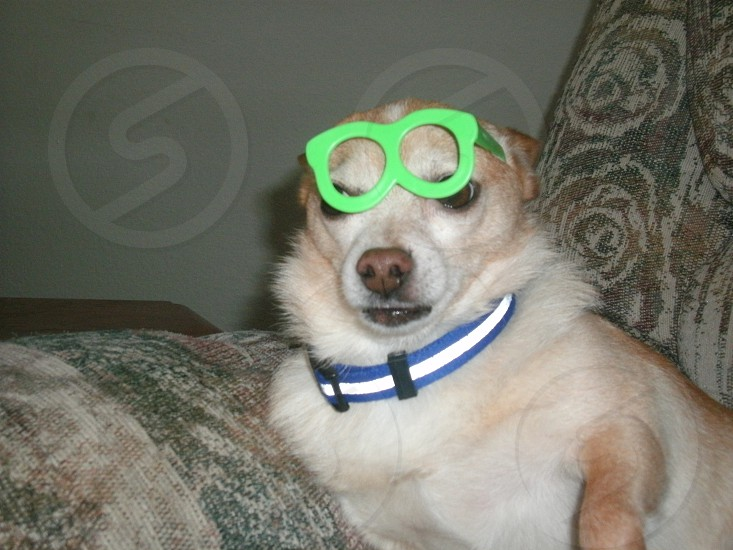 silly dog wearing glasses  photo