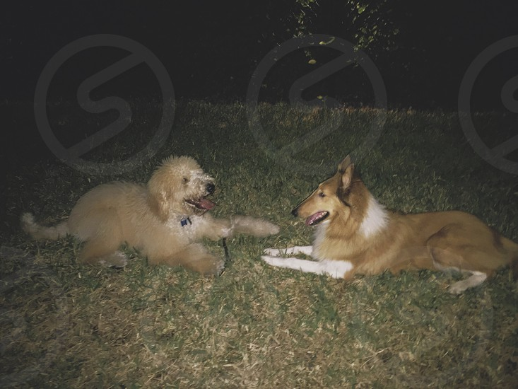 Collie puppy and goldendoodle best friends photo