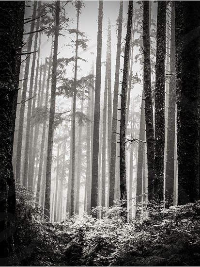 Olympic Natl Park WA Tall Trees in the Fog photo