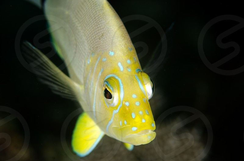 A portrait of a butter hamlet fish taken on a coral reef in Florida. photo