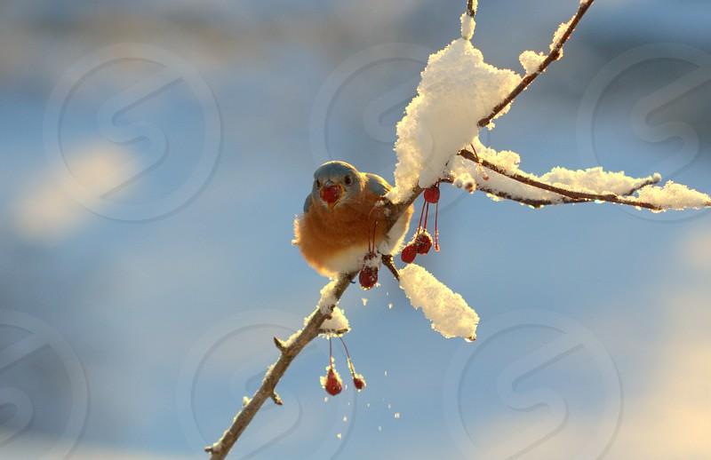 Eastern Bluebird Crabapple winter photo