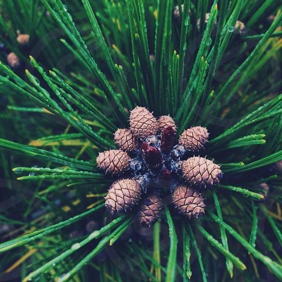 Brown Pine Cones photo