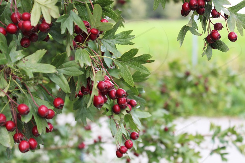 Red berries and green leafs photo