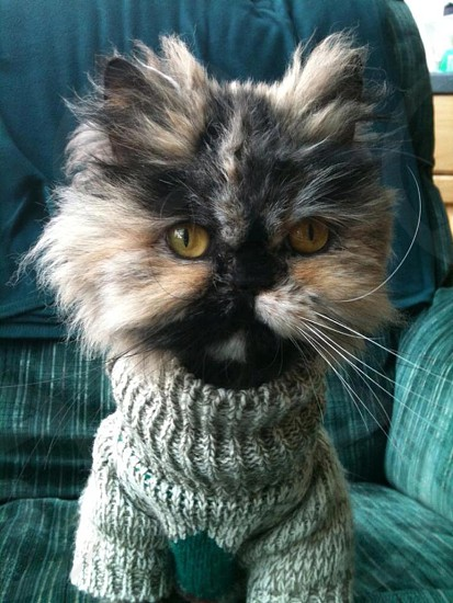 Gizzy (cat) wearing a sweater sitting straight up on the rocking chair (the rest of her hair had been shaved). photo