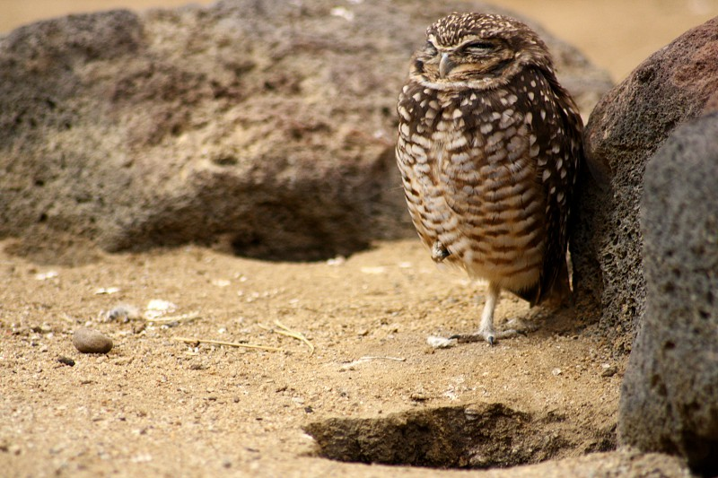 Burrowing Owl at Zoo America photo