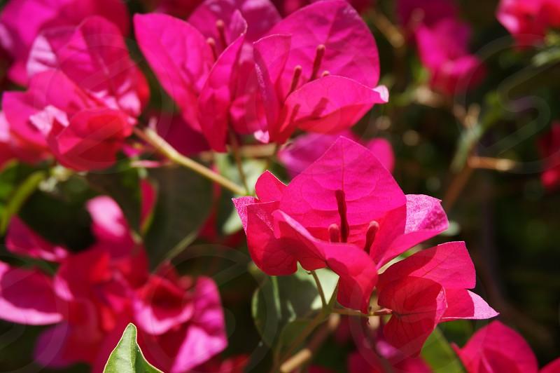 pink bougainvillea flower photo