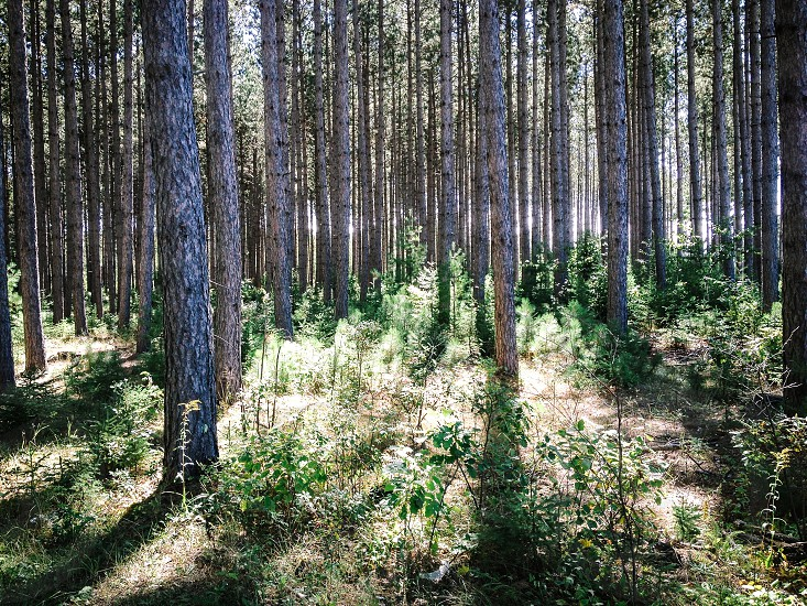 Northern pine forest floor  photo