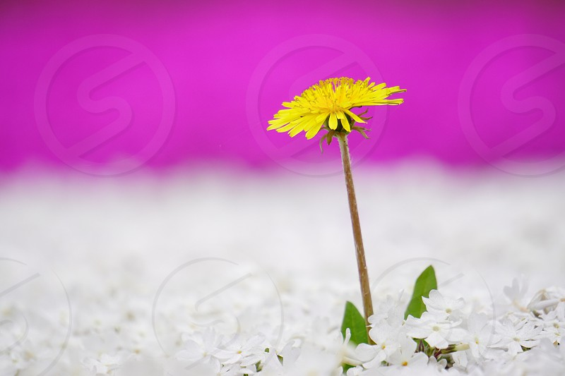 yellow dandelion flower in closeup photo photo