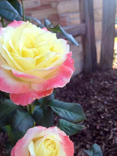 Lovely summer roses  photo