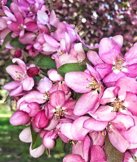 Spring flowers crabapple blossoms colorful photo