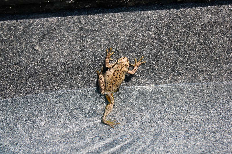 Frog trying to climb out of swimming pool water. photo