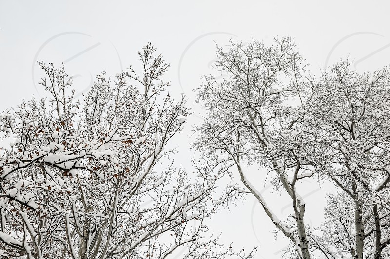 Top of the trees covered in snow in winter photo