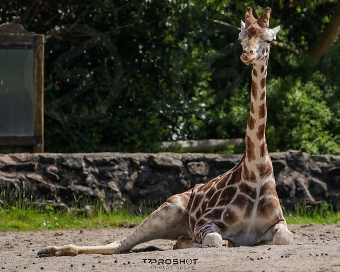 A Giraffe Relaxing. photo