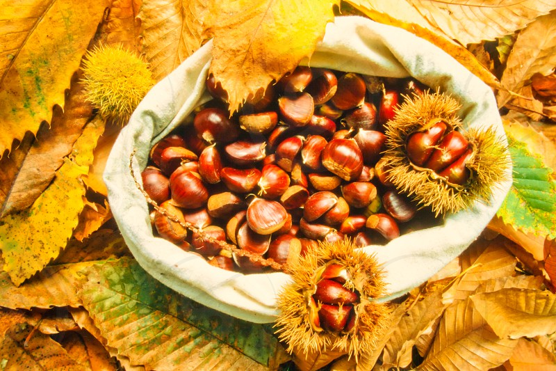 Fall still life arrangement of collected chestnuts chestnut leaves and husks. photo