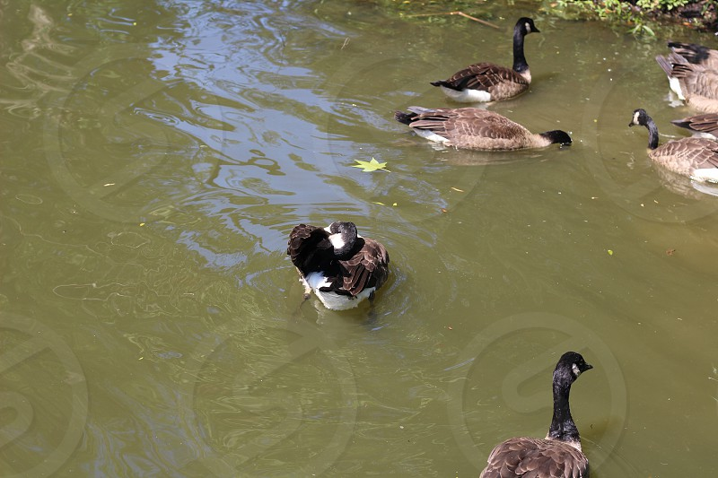 GEESE SWIM photo
