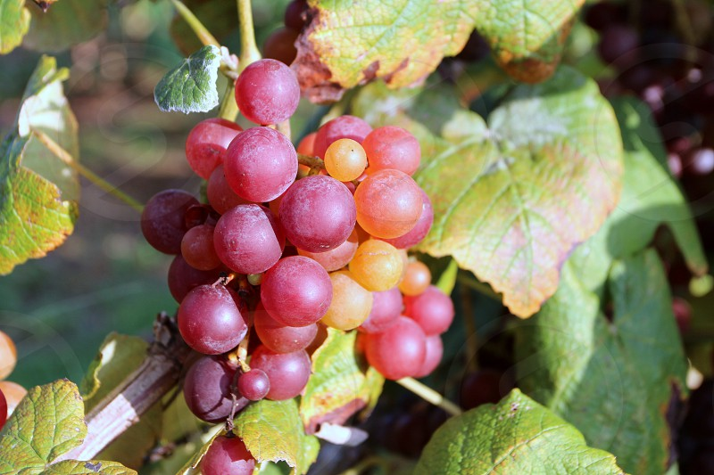 Red orange and violet grapes against green leaves photo