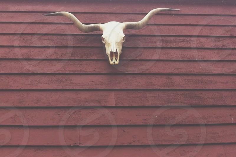 skull cow barn red wood steer bull horns photo