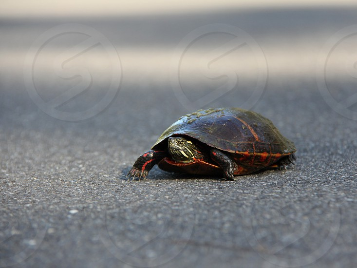 Turtle Slow Speed Shell Turtle Crossing photo
