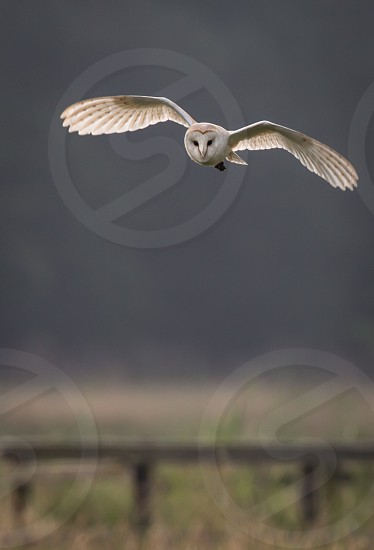 Barn owl hunting early morning over wild meadows with light through wing feathers (Tyto alba) photo