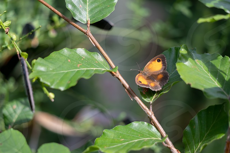 The Gatekeeper or Hedge Brown (Pyronia tithonus) butterfly resting on a leaf photo