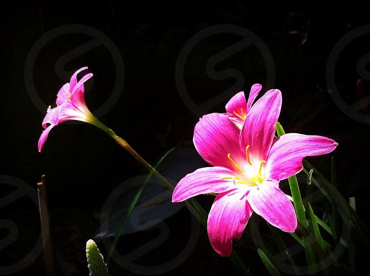 Pink flower aroma fragrance beautiful petal pollen photo