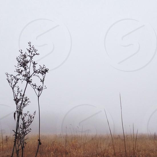 brown weeds  photo