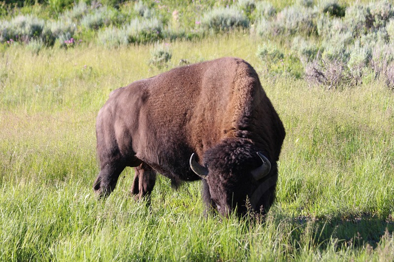 Bison buffalo wildlife big animals horns hiking nature outdoors photo