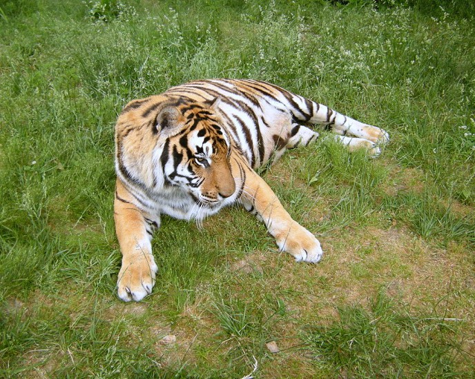 Tiger laying in grass photo