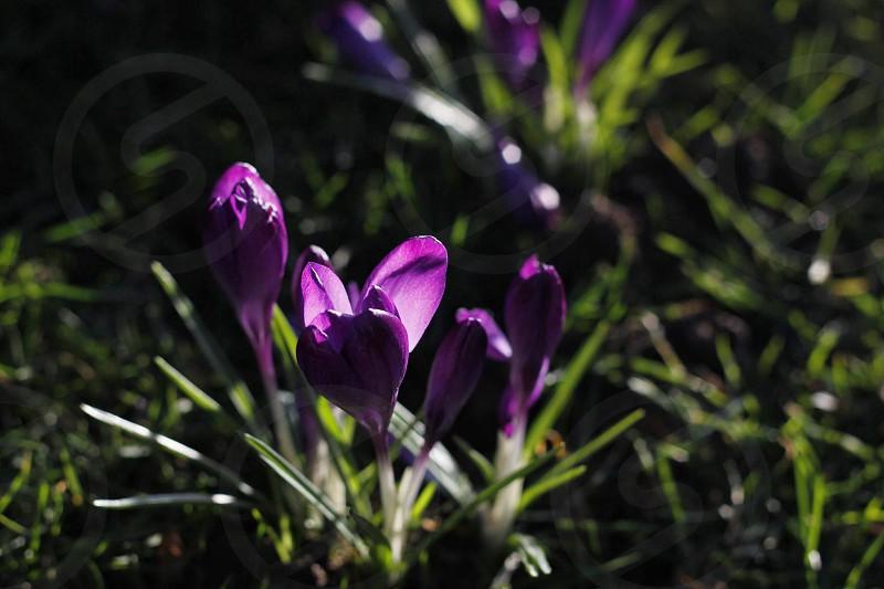 Beautiful purple flowers in the sun. photo
