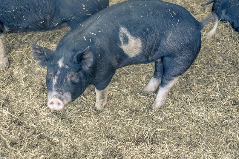 Hog in farm. photo