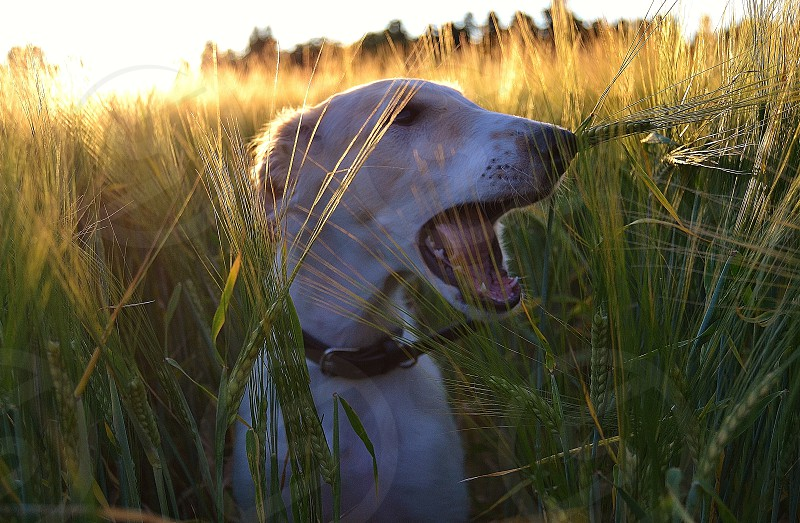 Dino the Borzoi/russian Wolfhound yawns in the field. photo
