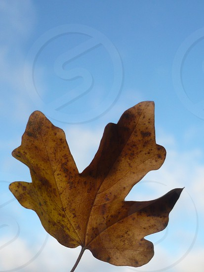 Dead Field Maple Leaf Against Sky photo