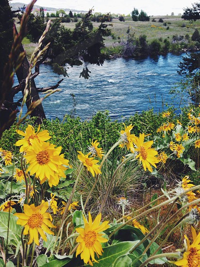 yellow sunflower near the river bank photo