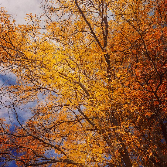 Fall autumn tree yellow leaves photo